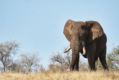 Big male elephant walking in the savannah. A large male elephant advances in the savannah of the Kruger National Park Royalty Free Stock Photos
