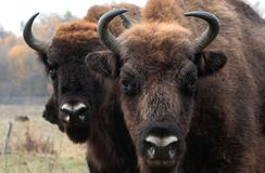 Big male of european bison stands in the autumn forest. Male european bison(Aurochs) in the autumn forest. The European bison (Bison bonasus), also known as the stock photo