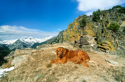 Big Male Golden Retriever Posing Resting on a Cliff`s Edge Stock Photography