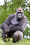 Big male gorilla Royalty Free Stock Image