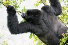Big male gorilla Stock Image