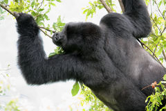 Free Big Male Gorilla Stock Image - 12138021