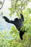 Big male gorilla. Shot of a big male gorilla in the jungle Royalty Free Stock Image