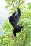Big male gorilla. Shot of a big male gorilla in the jungle Royalty Free Stock Photo
