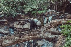 Big male gorilla with silverback walks on a fallen tree over an abyss over in the national zoo. A big male gorilla with silverback walks on a fallen tree over Royalty Free Stock Images