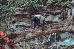 Big male gorilla with silverback walks on a fallen tree over an abyss over in the national zoo. A big male gorilla with silverback walks on a fallen tree over Royalty Free Stock Photo