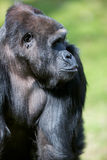 Big male gorilla Royalty Free Stock Photography