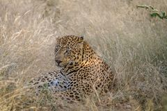 Big male Leopard laying down in the grass. Stock Image