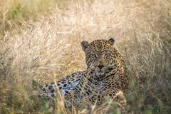 Big male Leopard laying down in the grass. Stock Photos