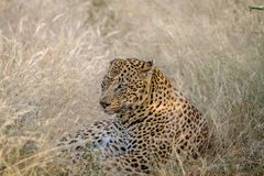 Big male Leopard laying down in the grass. Stock Photo