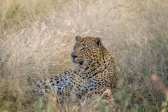 Big male Leopard laying down in the grass. Royalty Free Stock Images