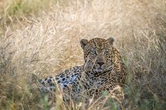 Big male Leopard laying down in the grass. Royalty Free Stock Image