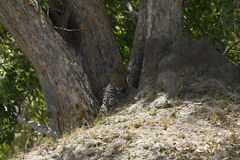 Big Male Leopard Resting in Forked Tree Stock Photo