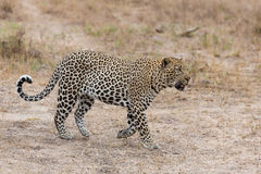 Big male leopard walking in nature to mark his territory Stock Images