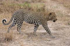 Big male leopard walking in nature to mark his territory Royalty Free Stock Image