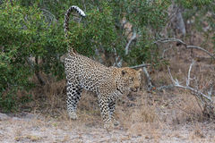 Big male leopard walking in nature to mark his territory Stock Image