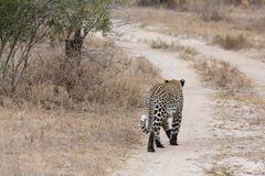 Big male leopard walking in nature to mark his territory Stock Photos