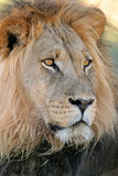 Big male lion Royalty Free Stock Photo