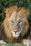 Big Male Lion Royalty Free Stock Photos