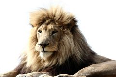 Big Male Lion Royalty Free Stock Image