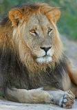 Big male lion. Big male African lion (Panthera leo) in relaxed position, Kalahari, South Africa stock photography