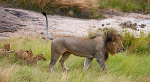 Big male lion with cub. National Park. Kenya. Tanzania. Masai Mara. Serengeti. royalty free stock image