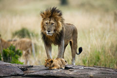 Big male lion with cub. National Park. Kenya. Tanzania. Masai Mara. Serengeti. stock photo
