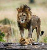 Big male lion with cub. National Park. Kenya. Tanzania. Masai Mara. Serengeti. Royalty Free Stock Photography