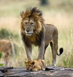 Big male lion with cub. National Park. Kenya. Tanzania. Masai Mara. Serengeti. Stock Photography