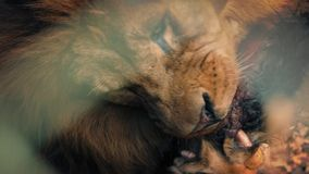 Big Male Lion Eating Dead Animal Meat stock video footage