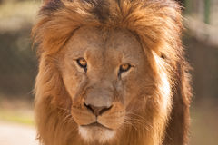 Big male lion Stock Image