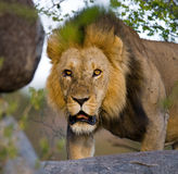 Big male lion with gorgeous mane on a big rock. National Park. Kenya. Tanzania. Masai Mara. Serengeti. An excellent illustration royalty free stock image