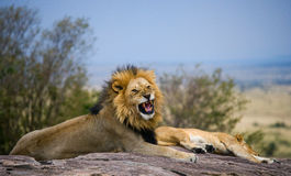 Big male lion with gorgeous mane on a big rock. National Park. Kenya. Tanzania. Masai Mara. Serengeti. Stock Photo