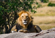 Big male lion with gorgeous mane on a big rock. National Park. Kenya. Tanzania. Masai Mara. Serengeti. An excellent illustration stock image