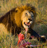 Big male lion with gorgeous mane eating prey. National Park. Kenya. Tanzania. Maasai Mara. Serengeti. An excellent illustration royalty free stock images