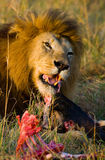 Big male lion with gorgeous mane eating prey. National Park. Kenya. Tanzania. Maasai Mara. Serengeti. Royalty Free Stock Photos