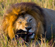 Big male lion with gorgeous mane eating prey. National Park. Kenya. Tanzania. Maasai Mara. Serengeti. An excellent illustration royalty free stock photography