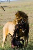 Big male lion with gorgeous mane eating prey. National Park. Kenya. Tanzania. Maasai Mara. Serengeti. Stock Photo