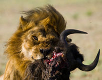 Big male lion with gorgeous mane eating prey. National Park. Kenya. Tanzania. Maasai Mara. Serengeti. Stock Photos