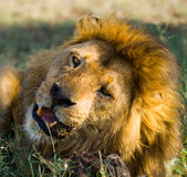Big male lion with gorgeous mane eating prey. National Park. Kenya. Tanzania. Maasai Mara. Serengeti. An excellent illustration royalty free stock photo