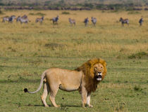 Big male lion with gorgeous mane goes on savanna. National Park. Kenya. Tanzania. Maasai Mara. Serengeti. stock photo