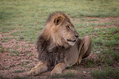 Big male Lion laying in the grass. Royalty Free Stock Images