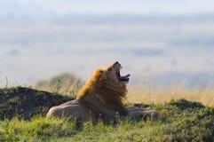 Big male lion lying in the grass and yawns in the morning. National Park. Kenya. Tanzania. Maasai Mara. Serengeti. Royalty Free Stock Images