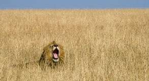 Big male lion lying in the grass and yawns in the morning. National Park. Kenya. Tanzania. Maasai Mara. Serengeti. Royalty Free Stock Photo