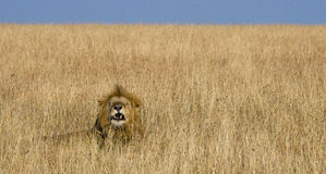 Big male lion lying in the grass and yawns in the morning. National Park. Kenya. Tanzania. Maasai Mara. Serengeti. Royalty Free Stock Photography