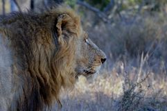 Big male lion (Panthera leo) Royalty Free Stock Photography