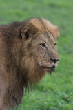 Big male lion portrait Stock Photography