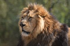 Big Male Lion Portrait Head face and mane. A male alpha head of the pride lion Panthera Leo with a full mane looking regal and noble against a natural background royalty free stock images
