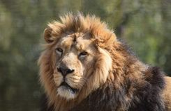 Big Male Lion Portrait Head face and mane. A male alpha head of the pride lion Panthera Leo with a full mane looking regal and noble against a natural background stock photo