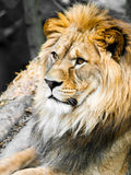 Big male lion portrait. Profile view of jungle king with huge bushy mane.  stock image